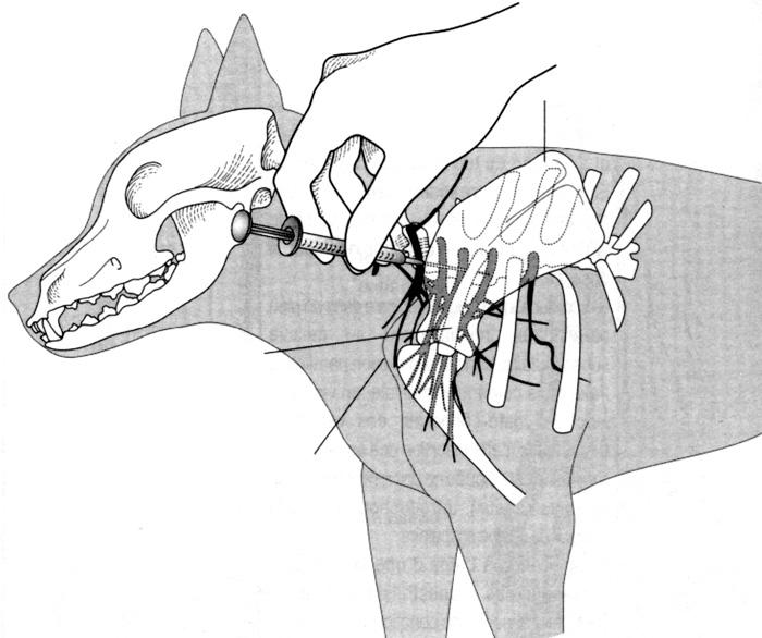 Réalisation d'un bloc du plexus brachial chez un chien