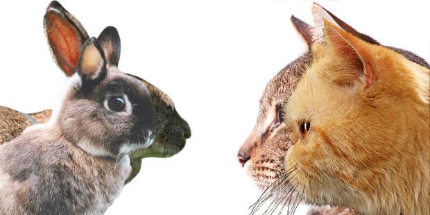 chats et lapins brachycéphales