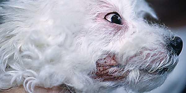 Bichon maltais atteint d'une dermatite à Malassezia
