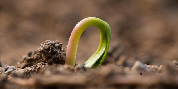 germination de graine d'érable