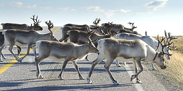 troupeau de rennes semi domestiques sur une route