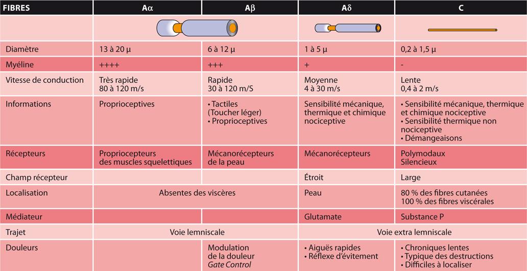TABLEAUCaractéristiques anatomiques et fonctionnelles des fibres tactiles et sensitives
