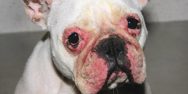 Dermatite atopique canine: mise à jour du consensus