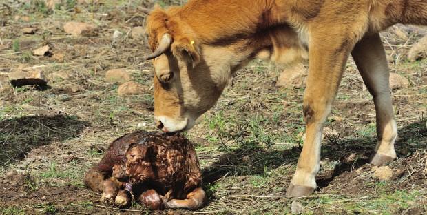 une vache s'occupe de son veau nouveau-né