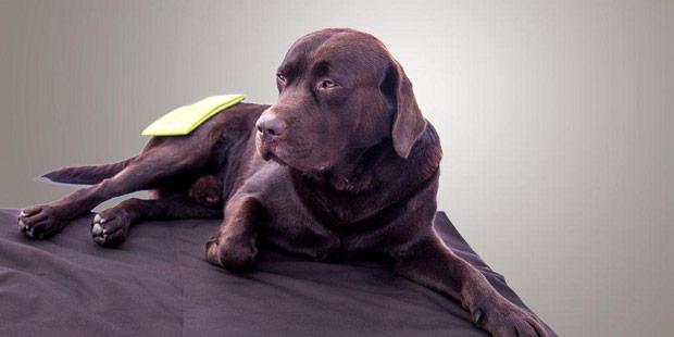 Compresse de physiothérapie sur un chien