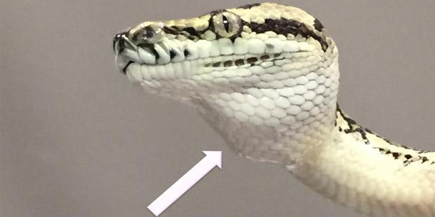 serpent atteint de myocardiopathie restrictive