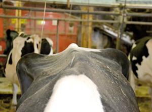Deux cas de thymome chez la vache laitière adulte