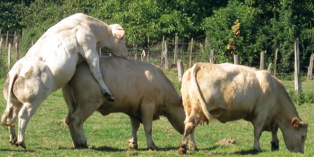synchronisation des chaleurs chez la vache