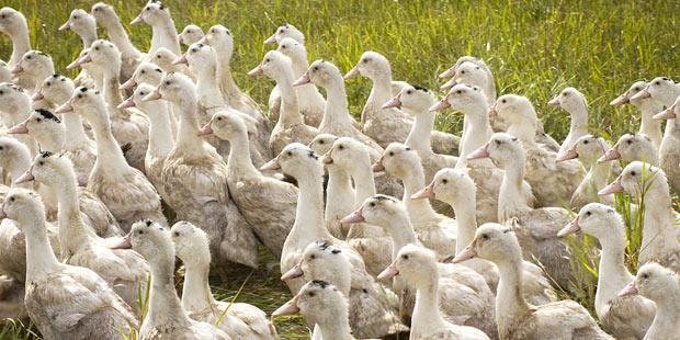 Des canards en plein air