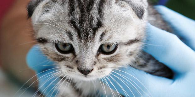 chaton, veterinaire