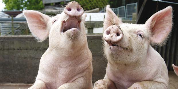 2 cochons