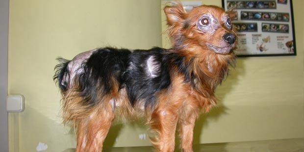 chien leishmanien