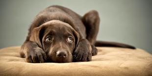 Un labrador chocolat triste