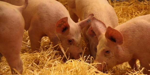 Des porcs présentés au SIA en 2016