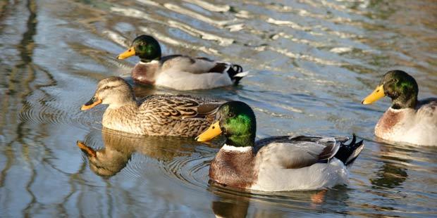 Des canards sauvages sur une pièce d'eau