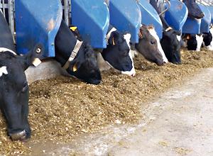 Destribution d'ensilage de maïs à des vaches laitières hautes productrices.