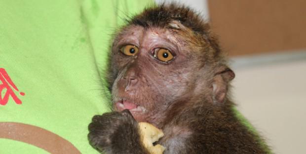 Macaque blessé