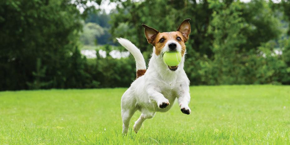 Un chien hyperactif avec une balle