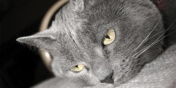 Chat gris allongé