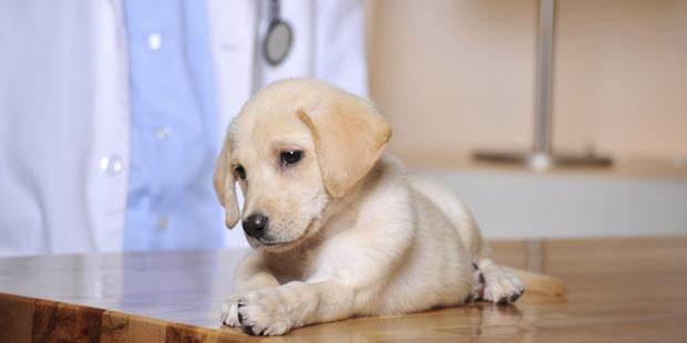 première consultation vétérinaire d'un chiot