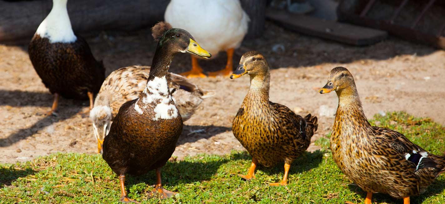 Un foyer d'influenza aviaire hautement pathogène détecté aux Pays-Bas