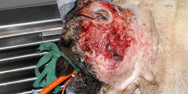 Pyodermite sévère chez un chien due à un staphylocoque résistant à la méticilline.
