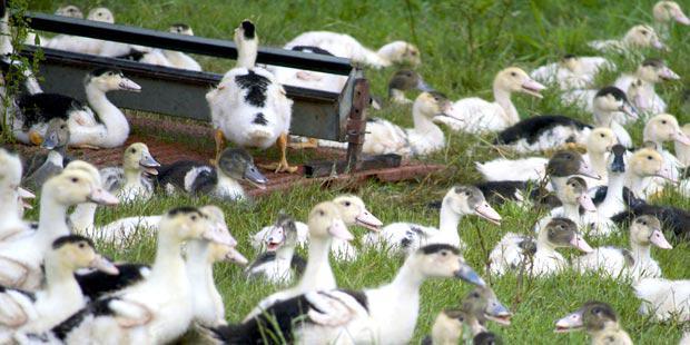 Des canards en plein air dans un élevage d'Aquitaine