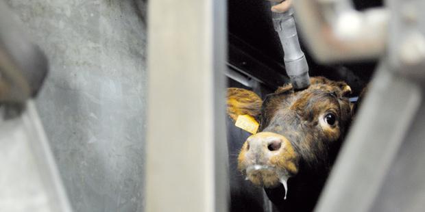 Un veau en abattoir
