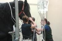 Un cheval en phase postopératoire de coliques recevant une fluidothérapie intraveineuse de Ringer lactate