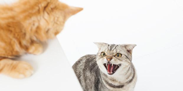 Conflit entre chats
