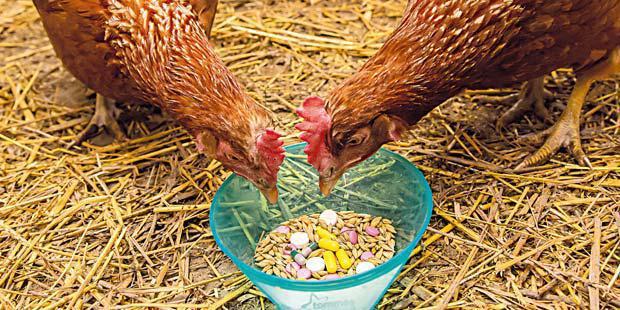 Poules mangeant des médicaments