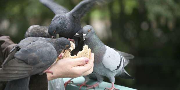 Tranche de pain donnée à la main à des pigeons