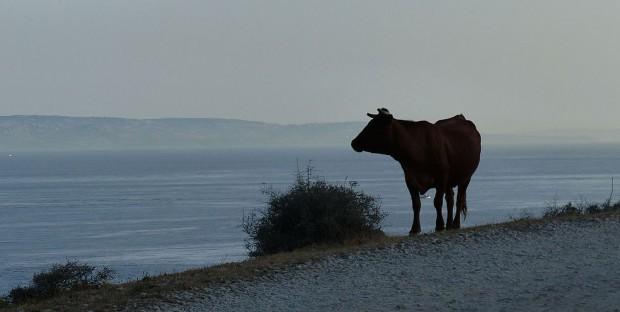 Vache en Espagne