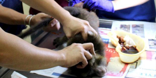 Macaque en soins