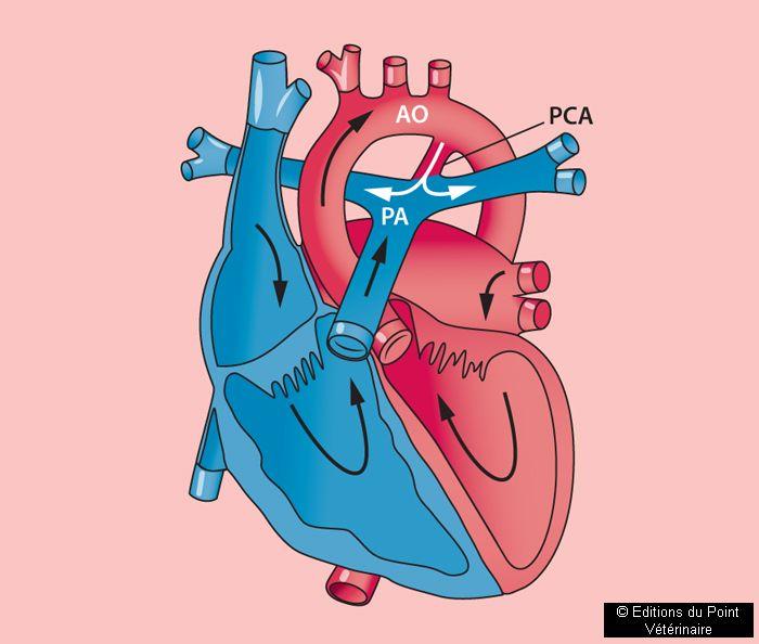 FIGURE 2Circulation sanguine par le canal artériel