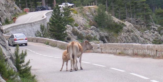 Vaches en liberté sur la route en Corse