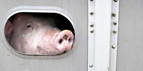 Transport en camion de porcs