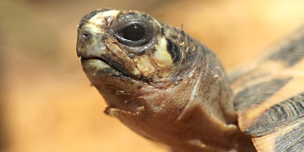 Tête d'une tortue de Madagascar