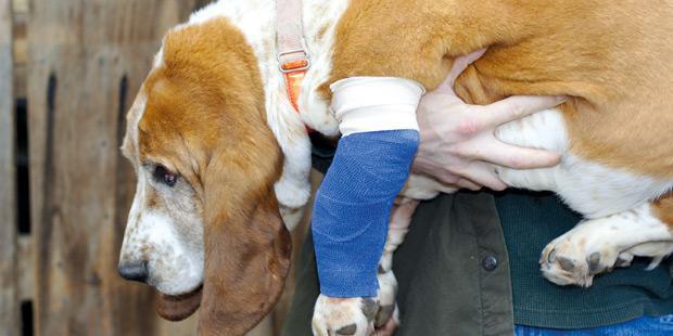 Un chien avec un bandage à la pate