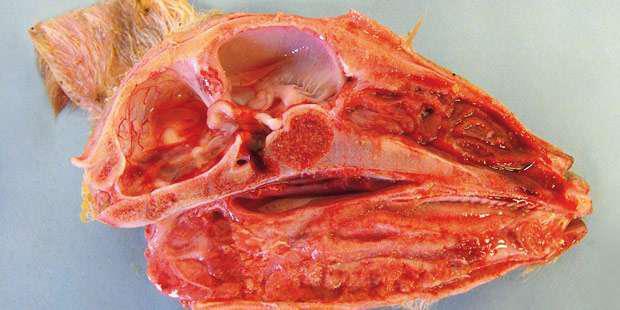 coupe de tête d'agneau malformé atteint du virus de Schmallenberg