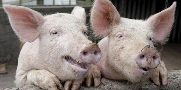 crise de la filière porcine