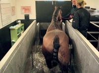 Vue caudale d'un cheval au pas sur tapis immergé avec de l'eau au niveau du carpe.