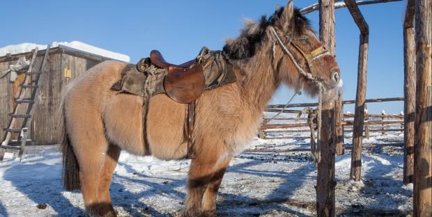un poney Iakoute harnaché