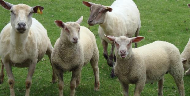 troupeau de moutons dans un pré