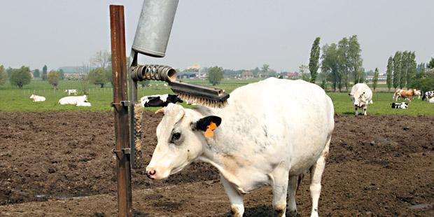 Vache qui se fait brosser le dos