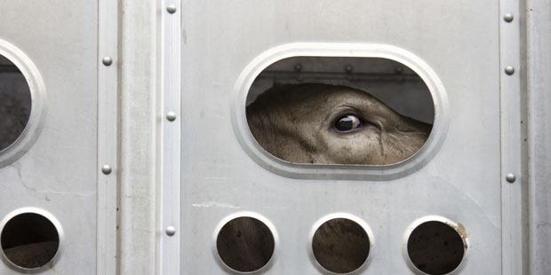 Transport de bovin