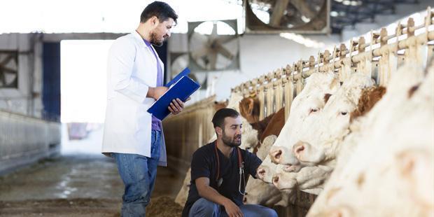 Vétérinaire inspectant des vaches chez un éleveur