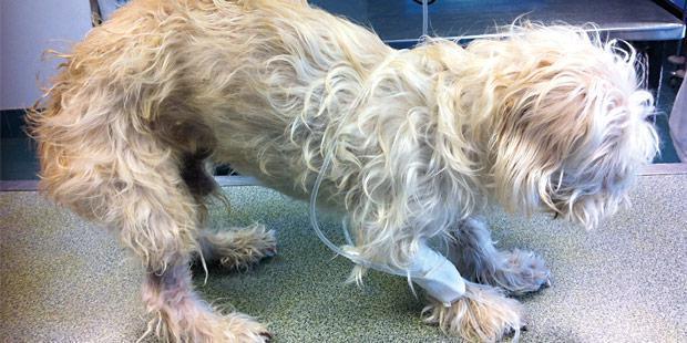 Animal présenté pour des douleurs arthrosiques réfractaires aux AINS.