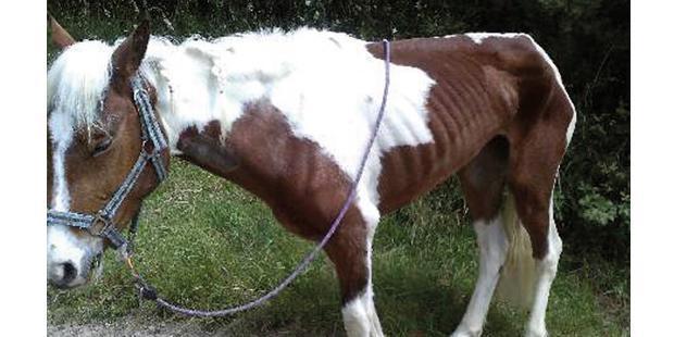 Ponette de 3 ans présentant une maladie de l'herbe