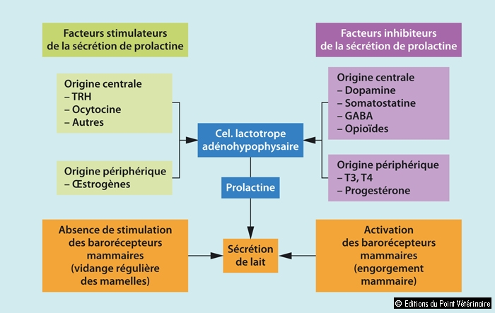FIGURE 1Régulation de la sécrétion de prolactine